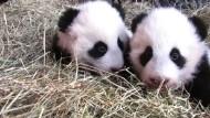 Pandazwillinge in Wien haben jetzt Namen