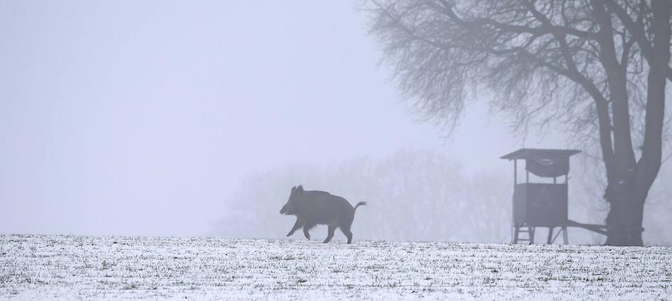 Wenn die Jagdsaison zu Ende ist, tanzen die Wildschweine sogar um den Hochstand herum.
