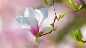 Magnolien wie Porzellan