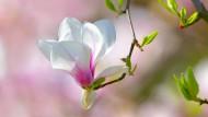 Frühling! Jetzt wird die Welt wieder bunt. Auch dank der Magnolien, die bald wieder ihre Knospen entfalten.
