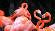 Flamingos neigen auch zur synchronisierten Kollektivperformance.