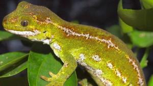 Geraubte Grüngeckos kehren nach Neuseeland zurück