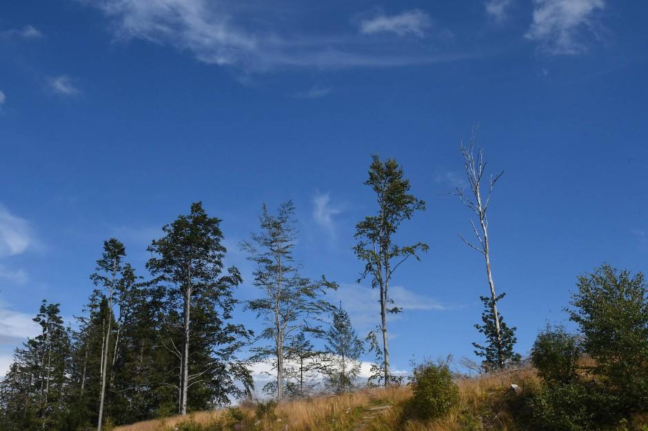 Ausgedörrter Wald im Schwarzwald