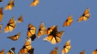 Monarchfalter auf ihrem langen Flug