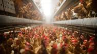 Foodwatch kritisiert katastrophale Legehennen-Haltung
