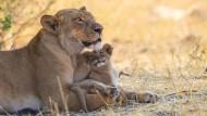 Entspannte Löwenmutterschaft im Hwange Nationalpark in Simbabwe: Nicht nur Säugetier-, sondern auch Menschenmütter haben ihren Artgenossinnen ohne Kinder einiges voraus.