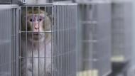 An der Medizinischen Fakultät der Uni Münster werden zu Forschungszwecken Tierversuche durchgeführt – deshalb lebt dieser Makake dort.