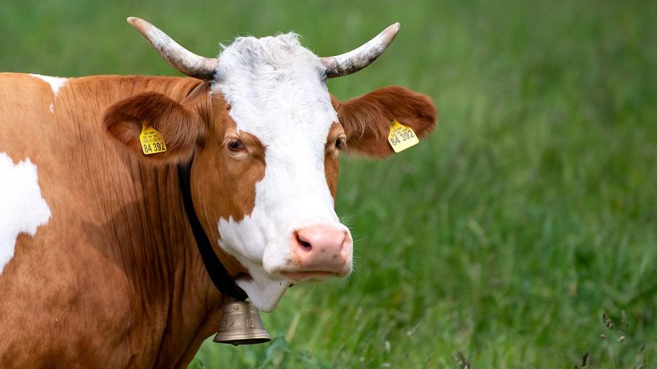 Sanft, neugierig, verspielt: Die Kuh, das unbekannte Wesen