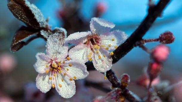 Diese Blüte hat der Winter doch noch erwischt: Die Blutpflaume in Mecklenburg-Vorpommern ist bei minus fünf Grad mit Raureif überzogen.