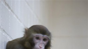 Der Affe, ein Versuchsobjekt?