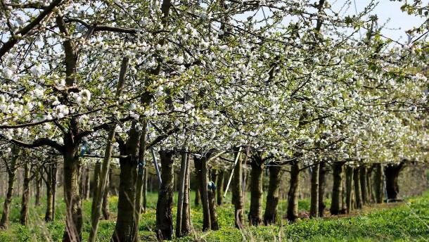 Schlafende Äpfel im weißen Blütenmeer