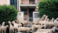 """Überall Schafe. Nicht nur auf Wiesen und Almen, sondern selbst zwischen Häusern und Strommasten. Als würden die Herden das Land überfluten. Dabei ziehen sie nur durch die Lombardei. Zweimal im Jahr ist das so. Von der Ebene in die Berge und wieder zurück. Gerade im dichtbesiedelten und industrialisierten Norden des Landes gälten Schäfer als """"Inbegriff des traditionellen italienischen Lebens"""", sagt der Fotograf Stefano Carnelli. Die in der Lombardei starke, rechtspopulistische Lega Nord vereinnahme das Bild des Schäfers sogar für sich. Da sei es doch interessant zu wissen, dass die Schafhaltung in der Region ohne die muslimische Bevölkerung längst ausgestorben wäre. Dann grinst er ein wenig und nickt langsam mit dem Kopf."""