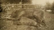 Zur Strecke gebracht: Ein erlegtes Wisent und ein Keiler, im Hintergrund links die Jäger