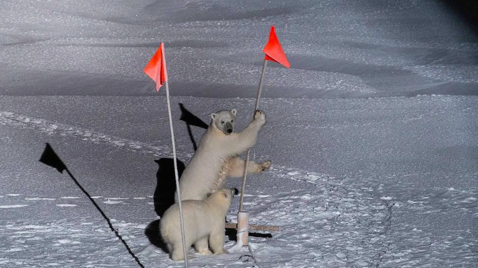 """Schmelzender Lebensraum Arktis: Der deutsche Forschungseisbrecher """"Polarstern"""" bekommt Besuch von zwei neugierigen Eisbären."""