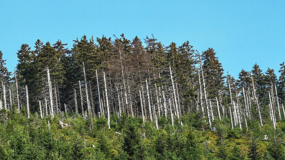 Gestresster Nadelholzwald im Nordschwarzwald – die Tage der Fichte scheinen auch hier gezählt zu sein.
