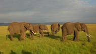 Auch Elefanten können Linkshänder sein. Man erkennt es an der Länge ihrer Stoßzähne.