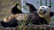 Pandas erobern China zurück