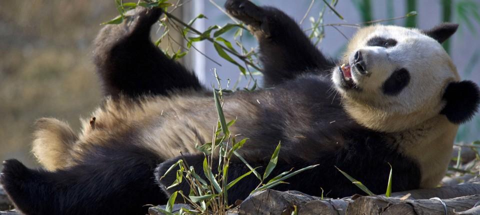 Naturschutz Grosse Pandas Erobern China Zuruck