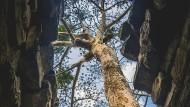 Wildes Leben: Ein Kapokbaum wächst in einer Tempelruine in Kambodscha.