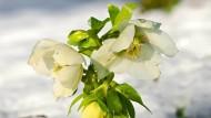 Rose in kalten Zeiten: Die Christrose