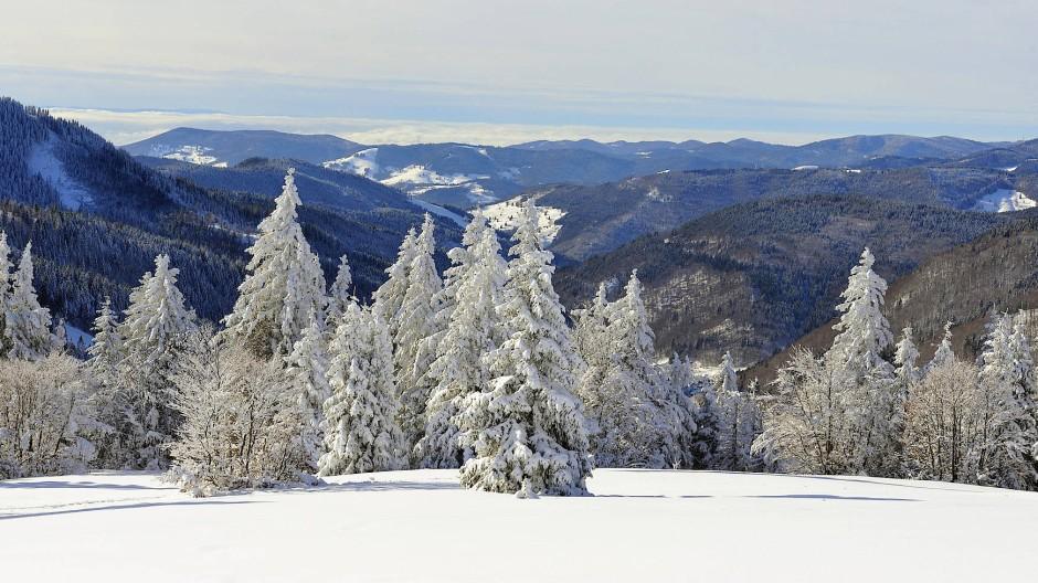 Im Schwarzwald haben sich dank kleiner Waldbauern, die keinen großen Forstumbau betrieben haben, besonders viele Weißtannen erhalten: Blick vom Feldberg über den Südschwarzwald.