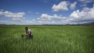 Wenigstens die Landschaft ist krisenresistent: ein Reisbauer auf seinem Feld in Lajas Valley.