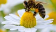 Exzellenzcluster ähneln Bienenschwärmen durch strenge Hierarchie und hochgradige Arbeitsteilung, kennen aber keine klaren Aufgaben und keine Kooperation