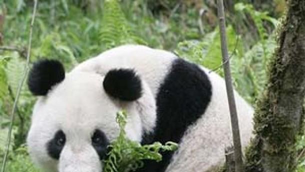 Panda-Reservat wird Welterbe