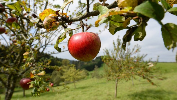 Was ist nur aus dem Apfelbaum geworden?
