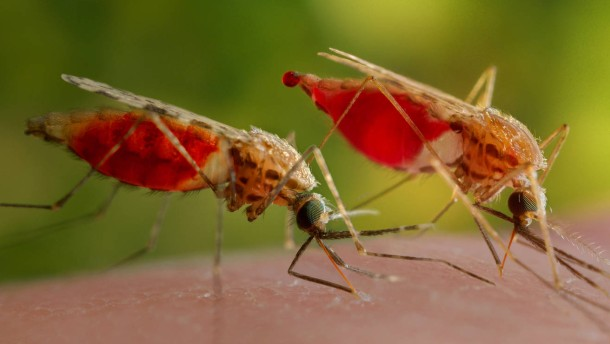 Mückensperma kann riechen