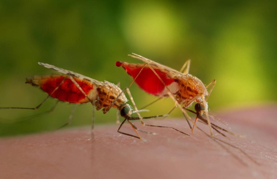 bilderstrecke zu mittel gegen malaria m ckensperma kann riechen bild 1 von 3 faz. Black Bedroom Furniture Sets. Home Design Ideas