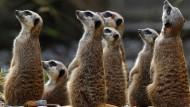 Irritierte Erdmännchen im Zoo von Dresden