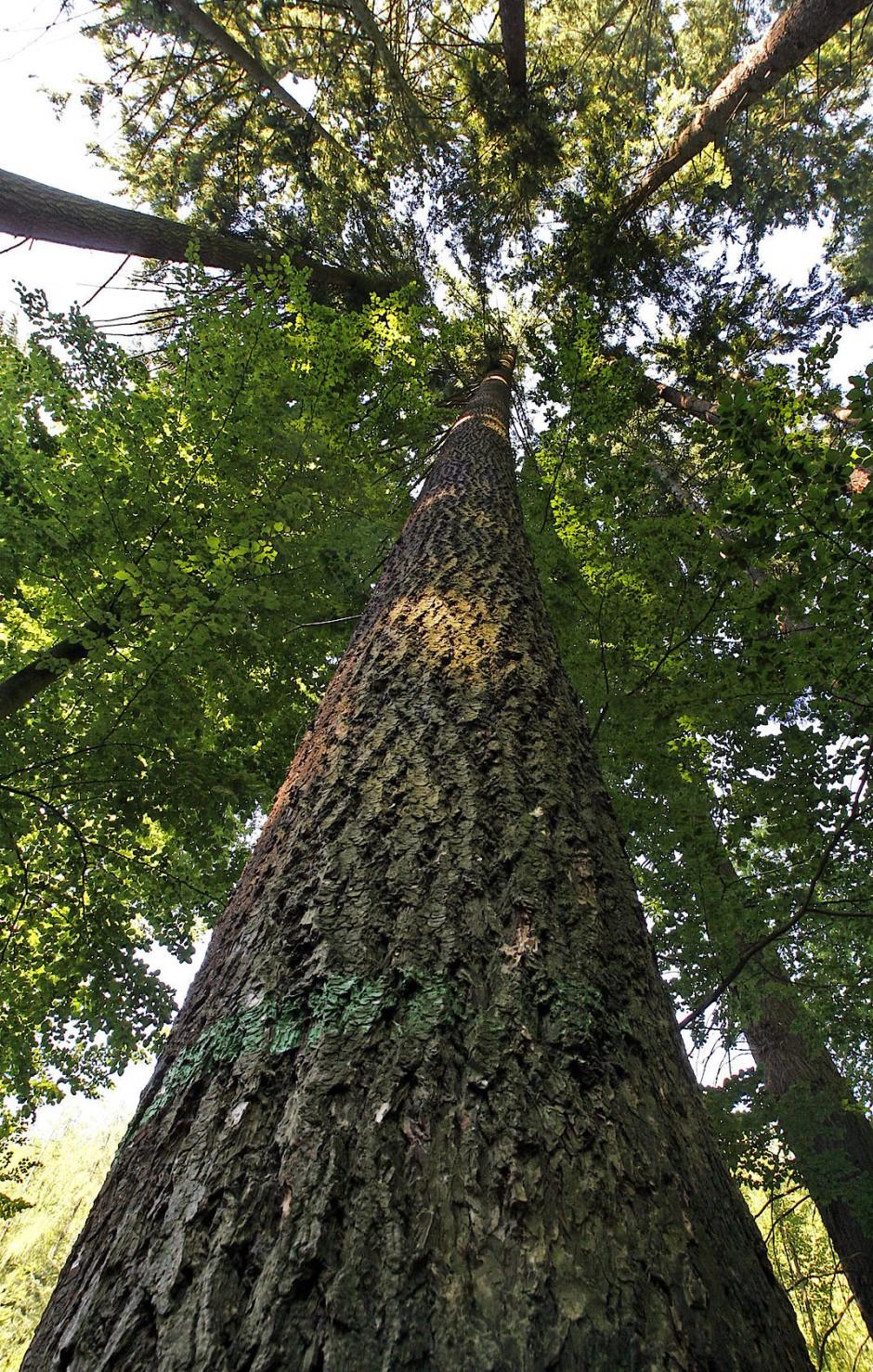 Diese Douglasie im badischen Eberbach gehörte mit 62 Metern Höhe zu den größten Bäumen Deutschlands.