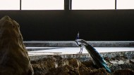 Ein Pfau in der alten Eishalle: Blick auf die neue Arbeit des französischen Künstlers Pierre Huyghe
