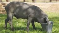 Sein Nacken schmeckt auch ohne Nelken und Orangenabrieb: Iberico-Schwein