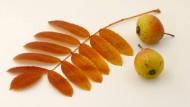 Eine Entdeckung: Der Speierling aus der vielfältigen Sorbus-Familie