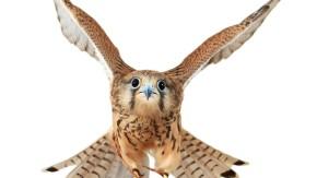 Die Welt aus der Vogelperspektive: Helen Macdonalds Buch über Falken