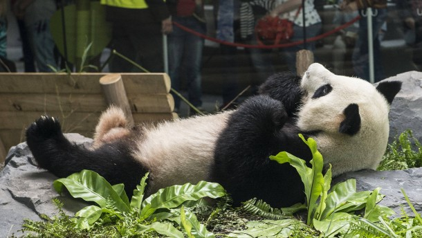 Man denkt nur noch Panda