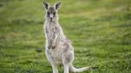 Unberechenbar: Ein Känguru hält am Rande eines Golfplatzes bei Canberra Ausschau.