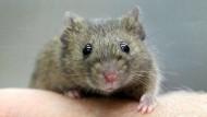 Viel Fell und doch genetisch ziemlich ähnlich: Die Maus muss oft als unser Stellvertreter dienen.