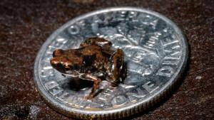 Frosch misst gerade sieben Millimeter