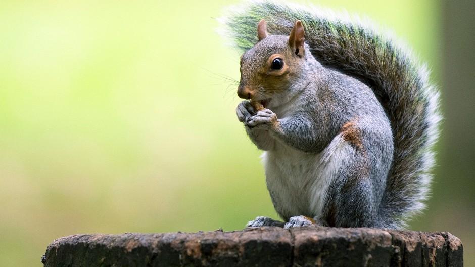 Böses (graues) Eichhörnchen aus London