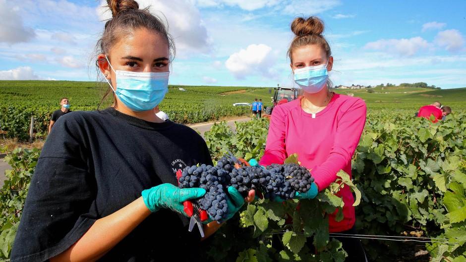 Nur mit Mundschutz: Traubenernte im ostfranzösischen Champagnergebiet