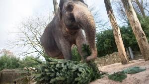 Wilhelma verfüttert Weihnachtsbäume an Elefanten & Co
