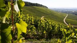 Mehr Wein erwartet als im Vorjahr