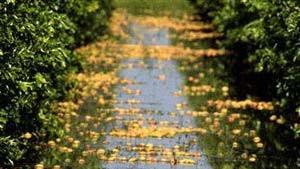 Tropenstürme blasen Orangensaftpreise auf Rekordhöhen