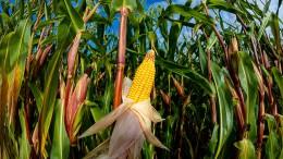 Selten war Getreide so teuer
