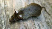 Wenn Ratten in der Küche herumkrabbeln, hört der Spaß auf.