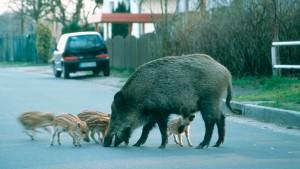 Die Bache mit Nachwuchs vor dem Supermarkt