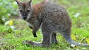 Australische Regierungschefin strickt Känguru für Kind von Prinz William